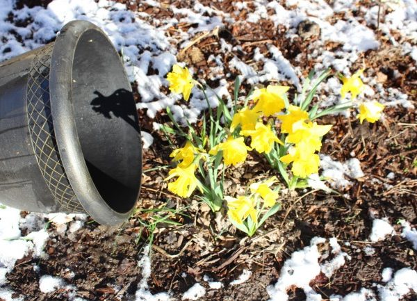 Planter tipped off of the daffodils.