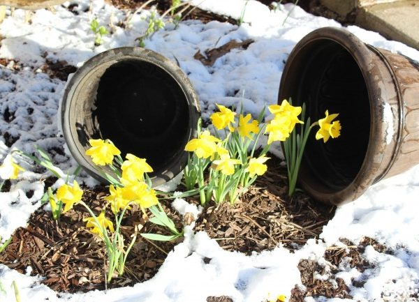 Two planters tipped off the daffodils surrounded by snow