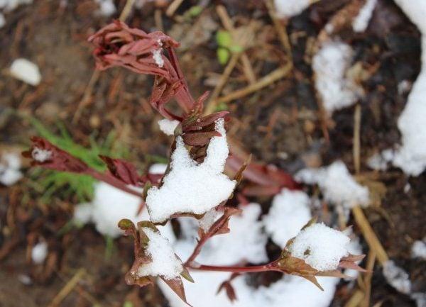 Snow on the peonies leaves.