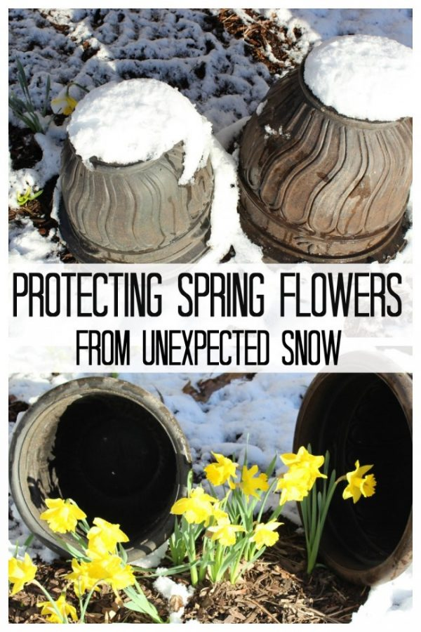 Using upside down planters to protect daffodils from snow.
