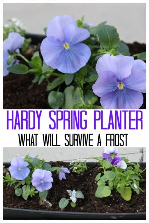 the hardy spring planter with purple pansies