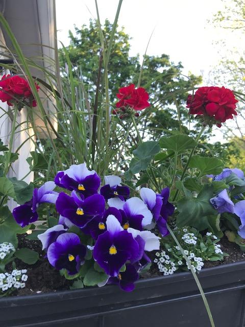 purple pansies and red geraniums in a window box.