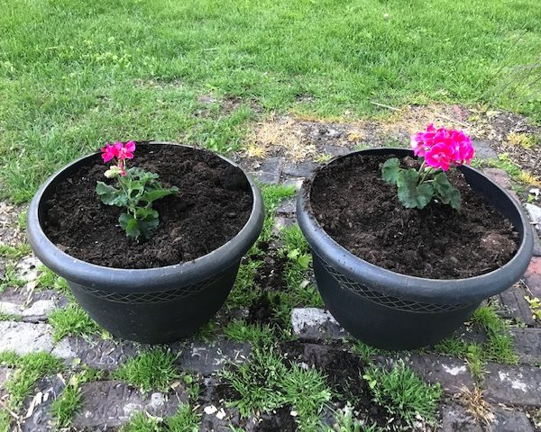 two matching planters with red geraniums in them.