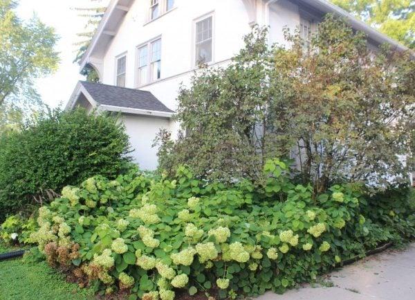 overgrown blooming hydrangeas