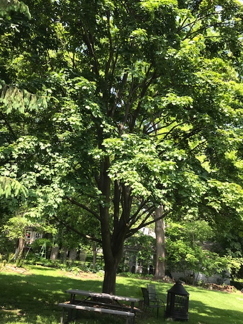 large maple tree providing a lot of shade in yard.