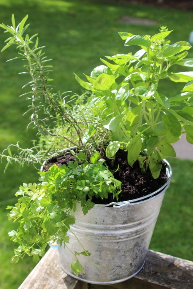 herbal garden in galvanized steel pail