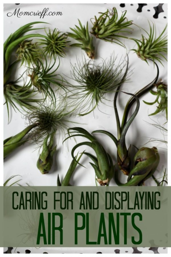 air plants on a tray
