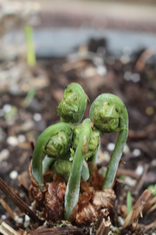 Young fern, leaves are called fiddleheads at this stage