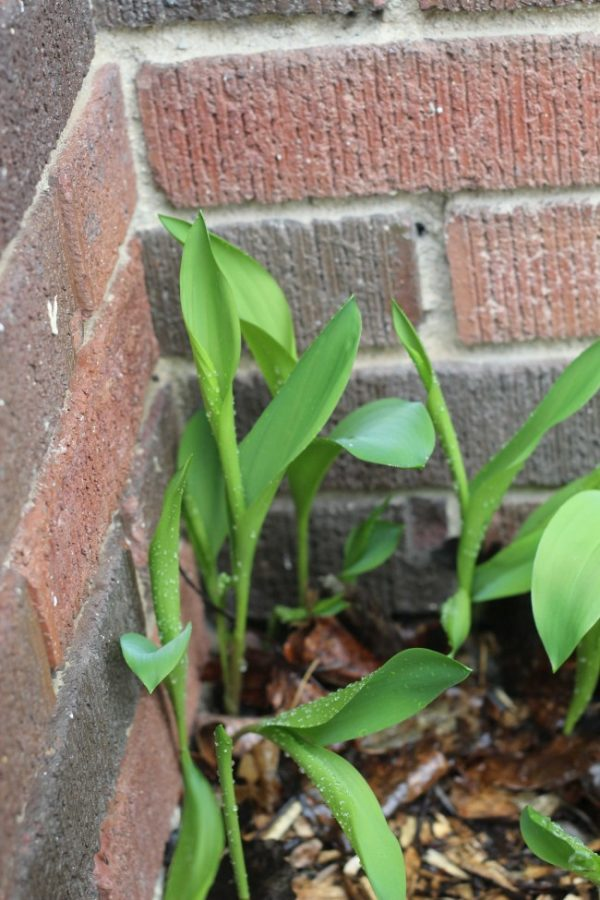 lily of the valley leaves opeining up