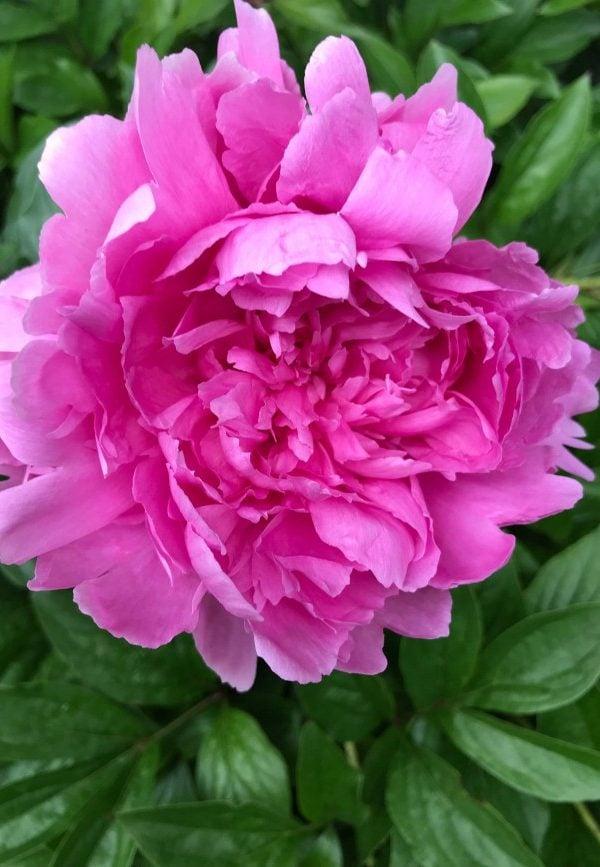 close up of pink peony bloom