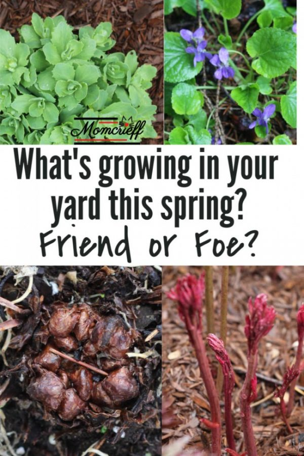 Young spring plants with a text overlay asking, What's growing in your yard this spring.