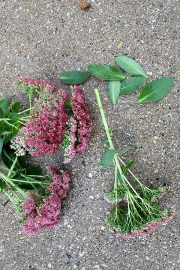 taking bottom leaves off autumn sedum plant.