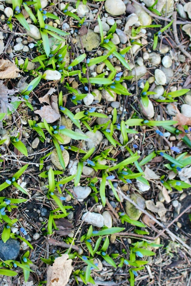 siberian squill growing in rocky soil